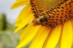 Abeja cubierta con polen Imagenes de archivo