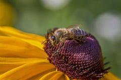 Abeja cubierta con polen en la flor Imagen de archivo