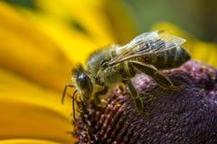 Abeja cubierta con polen en la flor Fotografía de archivo libre de regalías