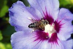 Abeja cubierta en polen Foto de archivo libre de regalías