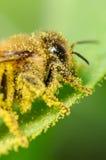 Abeja cubierta en polen Imagen de archivo libre de regalías