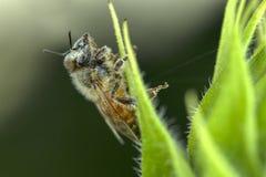Abeja cubierta en polen Imagen de archivo