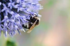 Abeja cubierta en polen Fotos de archivo