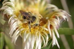 Abeja cubierta en polen Fotos de archivo libres de regalías