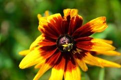Abeja cubierta en polen de la flor amarilla y marrón de Rudbekia Foto de archivo