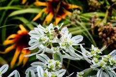 Abeja-cultivador en el jardín en el país Fotografía de archivo libre de regalías