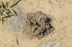 Abeja de Andrena en la entrada a su jerarquía Foto de archivo