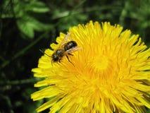 Abeja de Brown en la flor amarilla Fotos de archivo