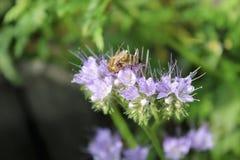 Abeja de Buckfast que se sienta y que recolecta en las flores Fotos de archivo libres de regalías