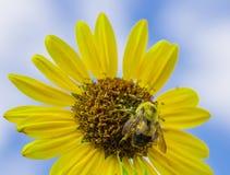 Abeja de Buzzy en un día de verano hermoso Imágenes de archivo libres de regalías