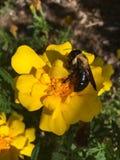 Abeja de carpintero del este que poliniza una flor Fotos de archivo