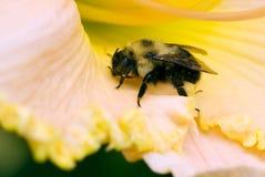 Abeja de carpintero en el pétalo de la flor Imagen de archivo libre de regalías
