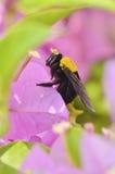 Abeja de carpintero en la flor del Bougainvillea Fotos de archivo