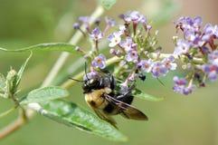 Abeja de carpintero en la flor del Buddleia Imagenes de archivo