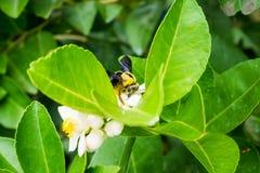Abeja de carpintero en la flor del limón Foto de archivo libre de regalías