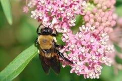 Abeja de carpintero en la flor del Milkweed Fotos de archivo