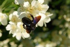 Abeja de carpintero en las flores de mofa-anaranjado dulce Imagenes de archivo