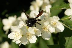 Abeja de carpintero en las flores de mofa-anaranjado dulce Foto de archivo libre de regalías