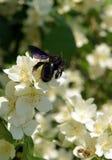 Abeja de carpintero en las flores de mofa-anaranjado dulce Imagen de archivo libre de regalías