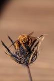 Abeja de carpintero masculina coloreada oro del valle Fotografía de archivo libre de regalías