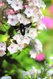 Abeja de carpintero negra en la flor del flox Foto de archivo
