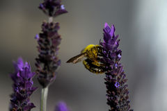 Abeja de carpintero que poliniza una flor púrpura de la lavanda - ascendente cercano Foto de archivo libre de regalías
