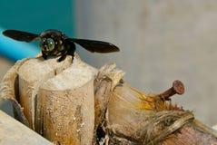 Abeja de carpintero tropical Foto de archivo libre de regalías