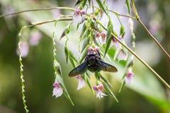 Abeja de carpintero tropical que busca para la miel Imagen de archivo libre de regalías