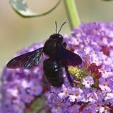 Abeja de carpintero violeta Foto de archivo