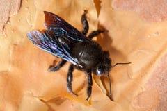 Abeja de carpintero violeta (abeja del perforador) en corteza de la corteza Imagen de archivo libre de regalías