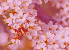 Abeja de Cherry Blossom Honey de la primavera Fotos de archivo