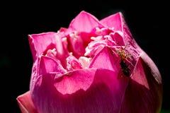 abeja de cogida de la araña en el pétalo del loto Fotos de archivo libres de regalías