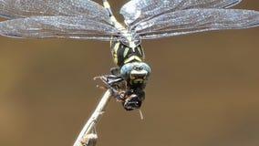 Abeja de cogida de la libélula para alimentar metrajes