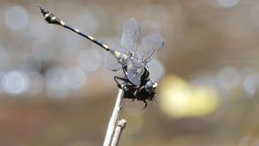 Abeja de cogida de la libélula para alimentar almacen de video