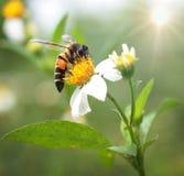 Abeja de flores. Foto de archivo libre de regalías