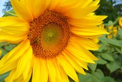 Abeja de Honney en el girasol fondo natural floral del verano Fotografía de archivo libre de regalías