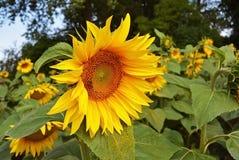 Abeja de Honney en el girasol fondo natural floral del verano Imagen de archivo