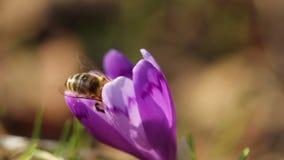 Abeja de Honney en la flor del azafrán en primavera en fauna en la luz del sol almacen de metraje de vídeo