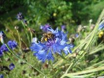 Abeja de Kranjska que recoge el polen Imagen de archivo libre de regalías