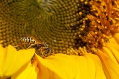 Abeja de la Amarillo-chaqueta Imagen de archivo libre de regalías