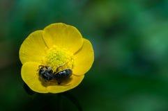 Abeja de la avispa en del ranúnculo del amarillo del ranúnculo de la flor de la macro del cierre el polen 2 del interior para arri Imagen de archivo