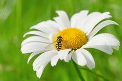 Abeja de la avispa en la flor de la manzanilla Fotos de archivo