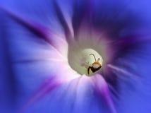 Abeja de la calabaza el dormir en un flor de la calabaza Imagenes de archivo