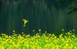 Abeja de la captura del pájaro del comedor de abeja para alimentar Fotografía de archivo libre de regalías
