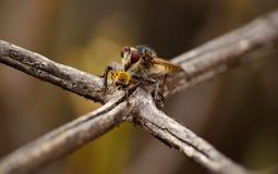 Abeja de la caza de la mosca de ladrón Fotografía de archivo libre de regalías