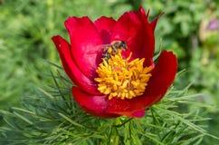 abeja de la flor Imagen de archivo libre de regalías