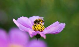 abeja de la flor Foto de archivo libre de regalías