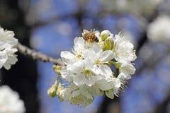 Abeja de la flor de cerezo y de la miel Foto de archivo