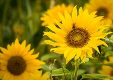 Abeja de la flor de Sun Fotos de archivo