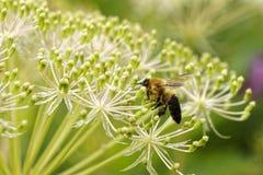 Abeja de la flor y foto de la macro del néctar Imágenes de archivo libres de regalías